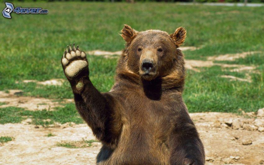 oso pardo, pata, saludo