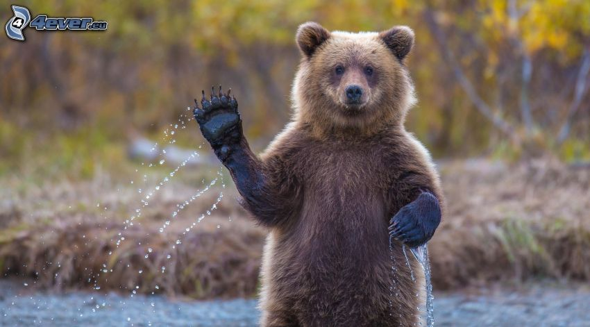oso pardo, pata