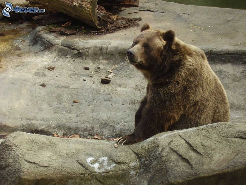 oso pardo, roca