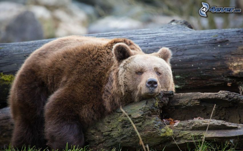 oso pardo, tribu, descanso