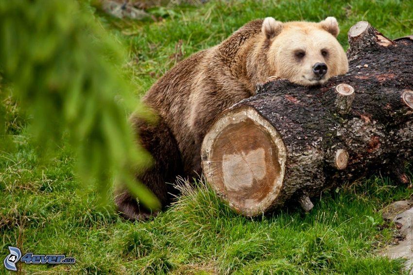 oso pardo, tronco