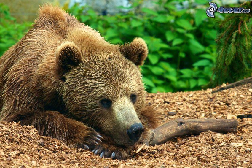 oso pardo
