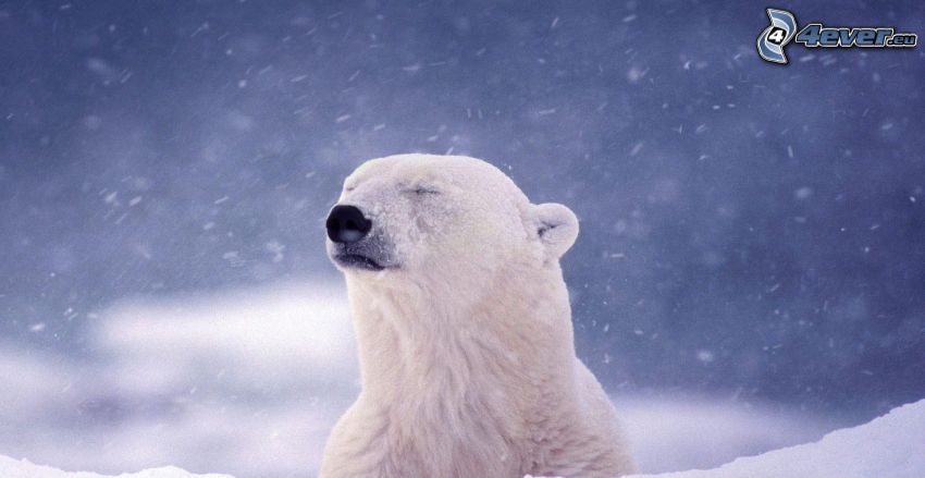 oso polar, la nevada