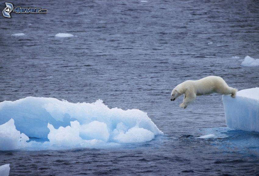 oso polar, salto, témpanos de hielo, Océano Ártico