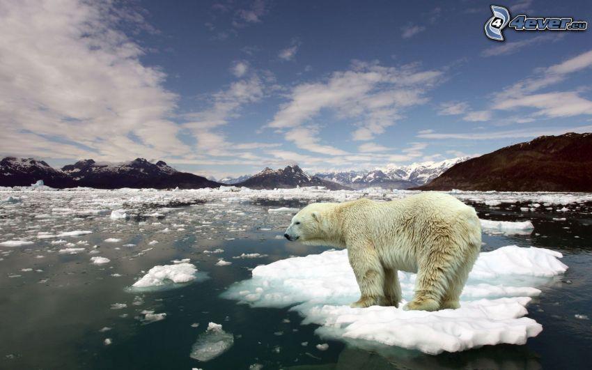 oso polar, témpano de hielo, Océano Ártico