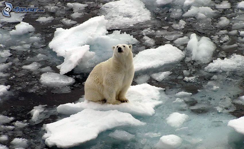 oso polar, témpanos de hielo, Océano Ártico