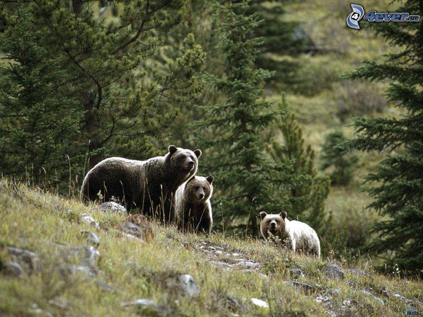 osos, montaña, prado, bosque