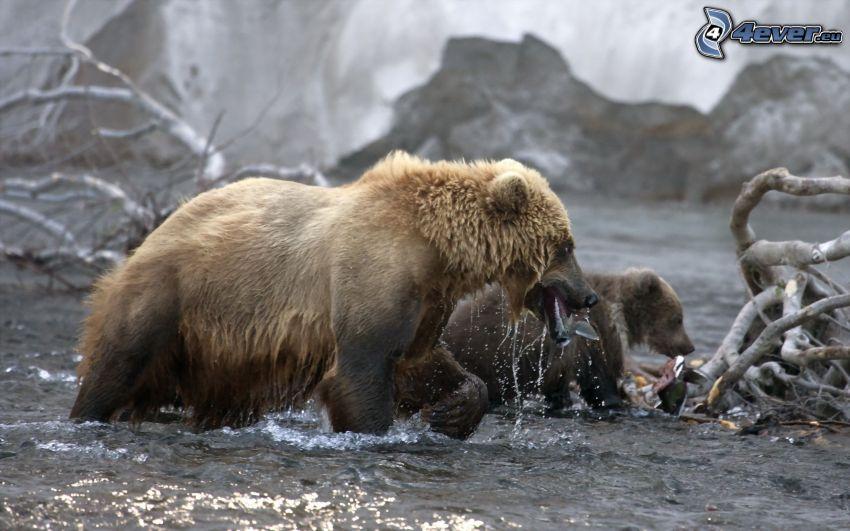 osos marrones, agua, peces