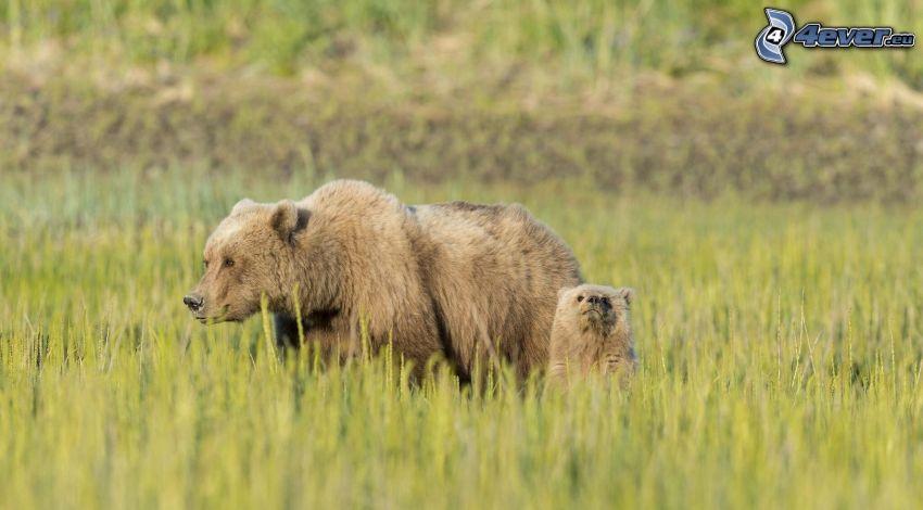 osos marrones, cachorro, hierba alta