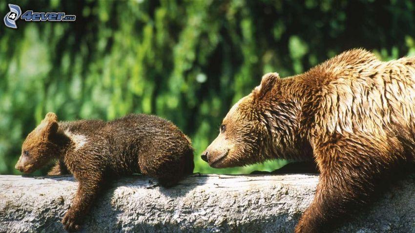 osos marrones, cachorro