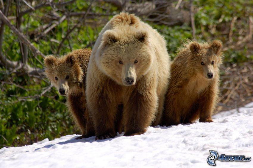 osos marrones, crías, Rusia