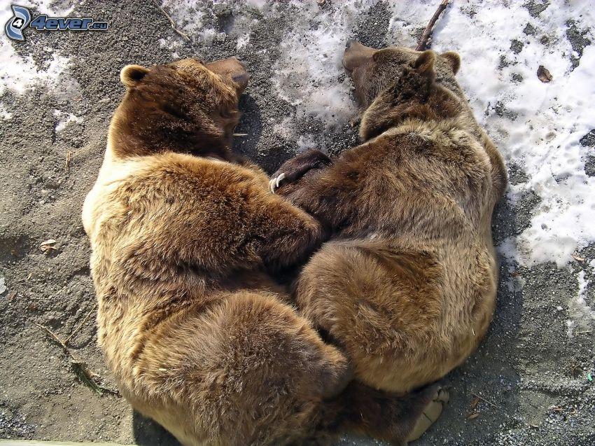osos marrones