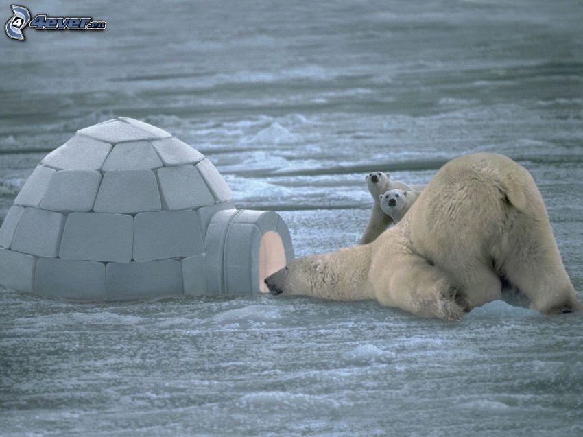 osos polares, iglú