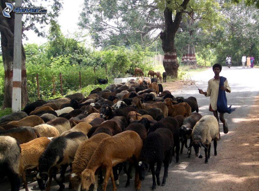 ovejas, pastor, negro, camino de campo