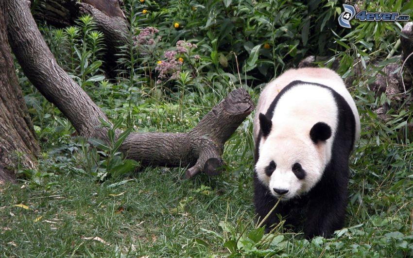 panda, bosque, tribu