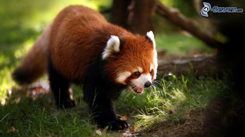 panda roja