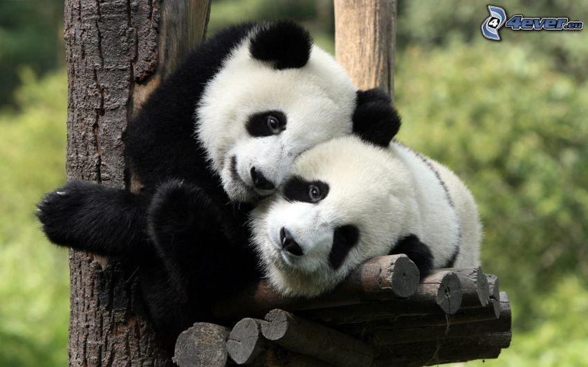 pandas, abrazar