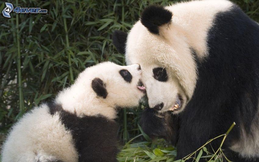 pandas, cachorro