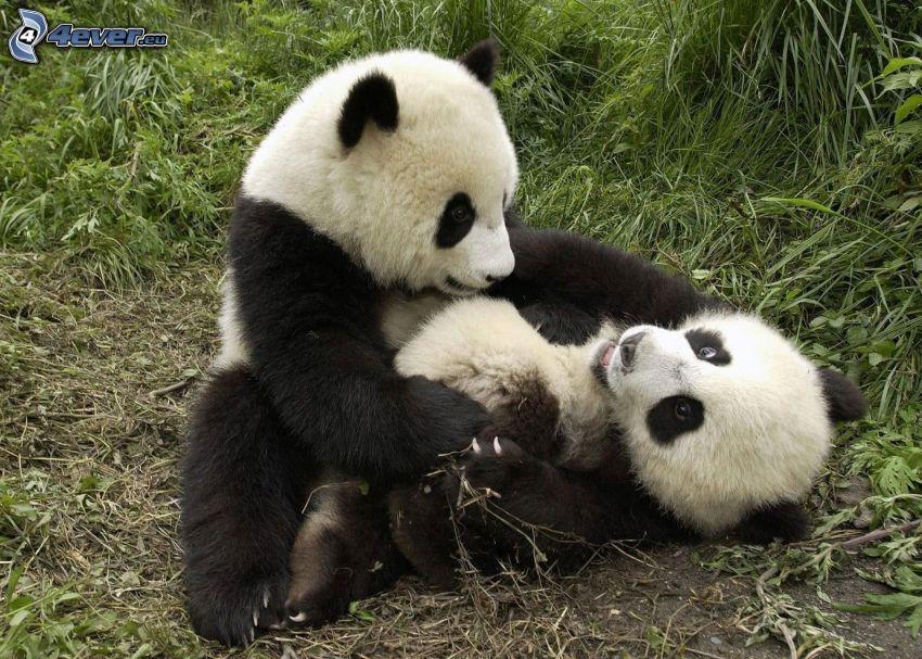 pandas, crías, hierba