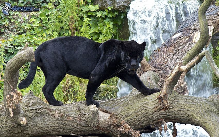 pantera, árbol