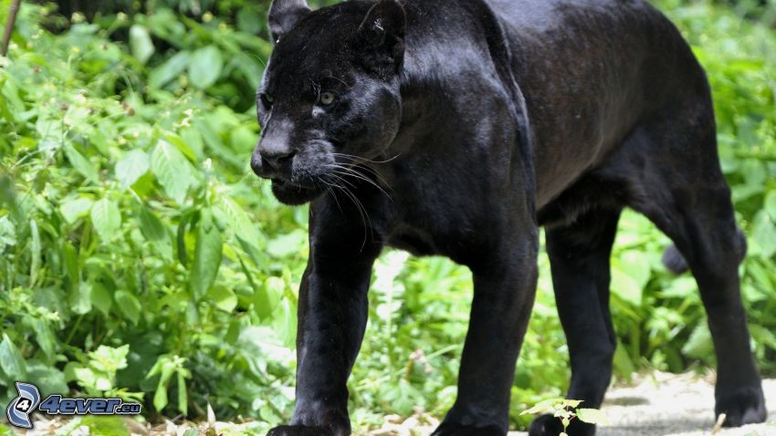 pantera negro