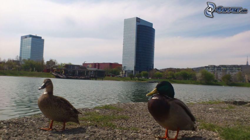 pato y ánade, Kuchajda, Bratislava, lago