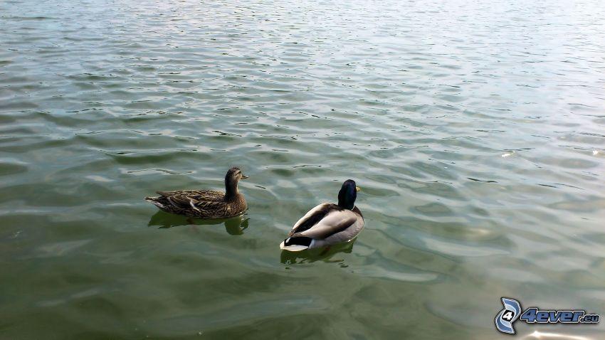 pato y ánade, lago