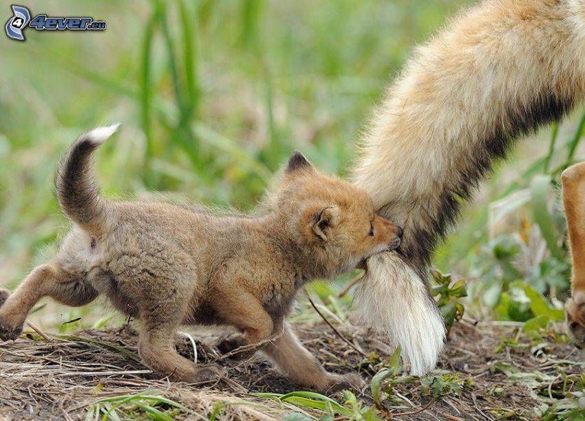pequeño zorro, cola