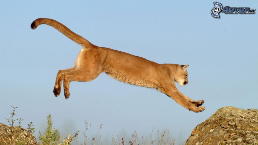 puma, salto