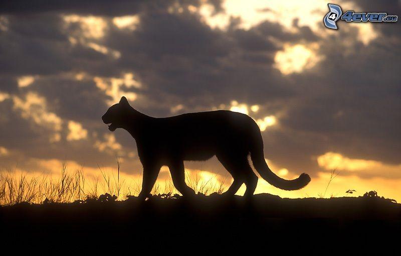 puma, silueta, puesta del sol