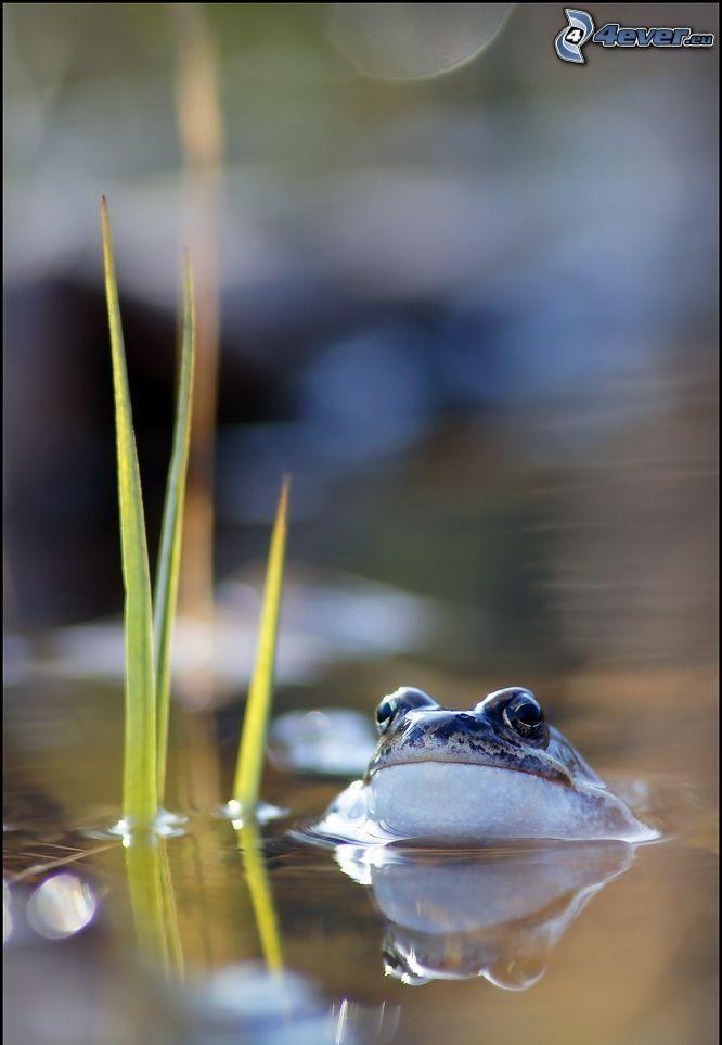 rana, agua, paja de hierba
