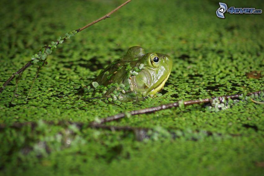 rana, estanque