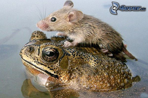 rana, ratón, lago, agua