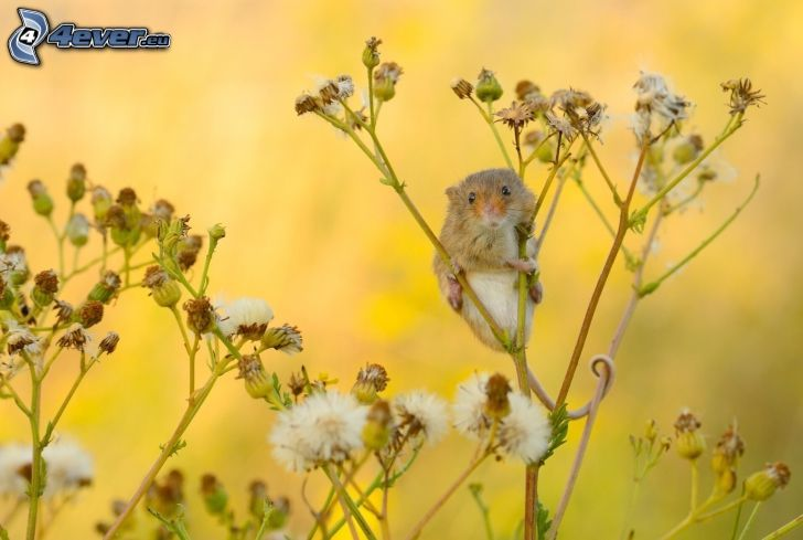 ratón, planta de campo
