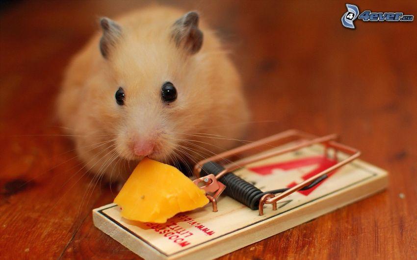 ratón, trampa, queso