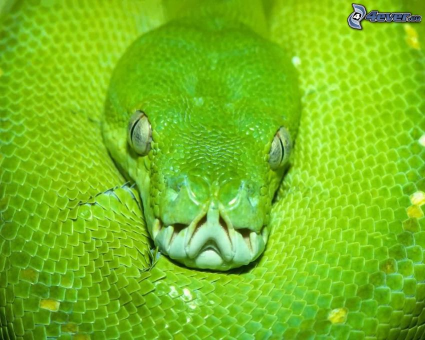 serpiente verde, dientes, ojos