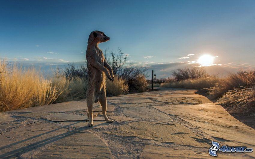 suricata, puesta del sol, acera