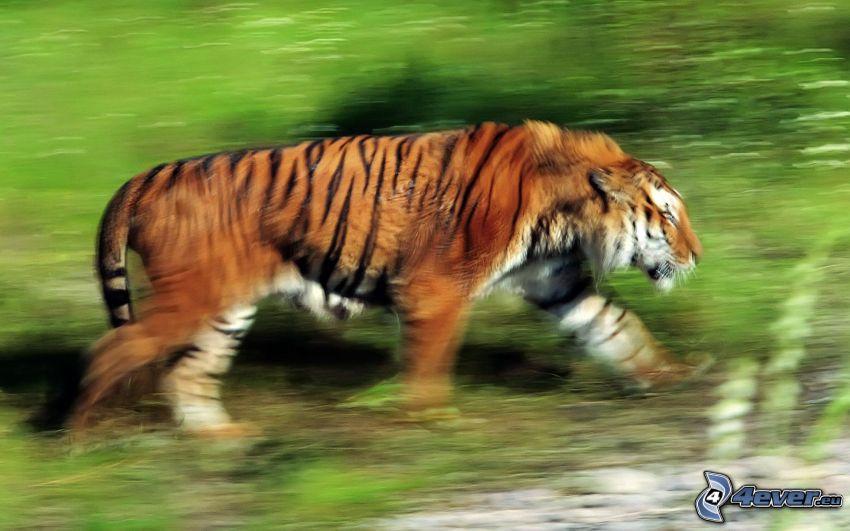 tigre, acelerar