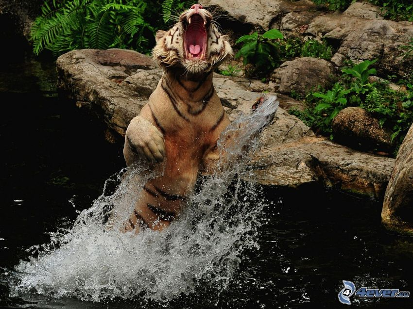 tigre, agua, rugido