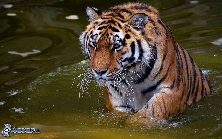 tigre, agua