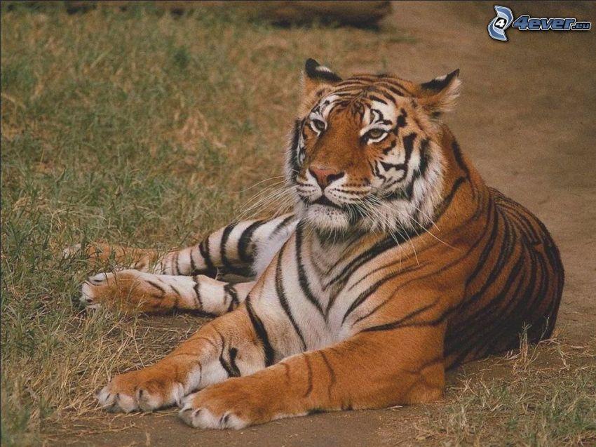 tigre, animal