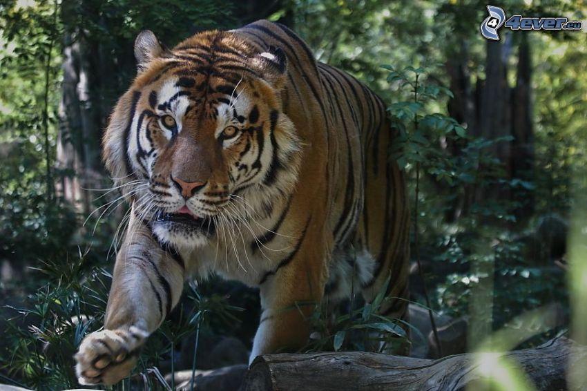 tigre, bosque