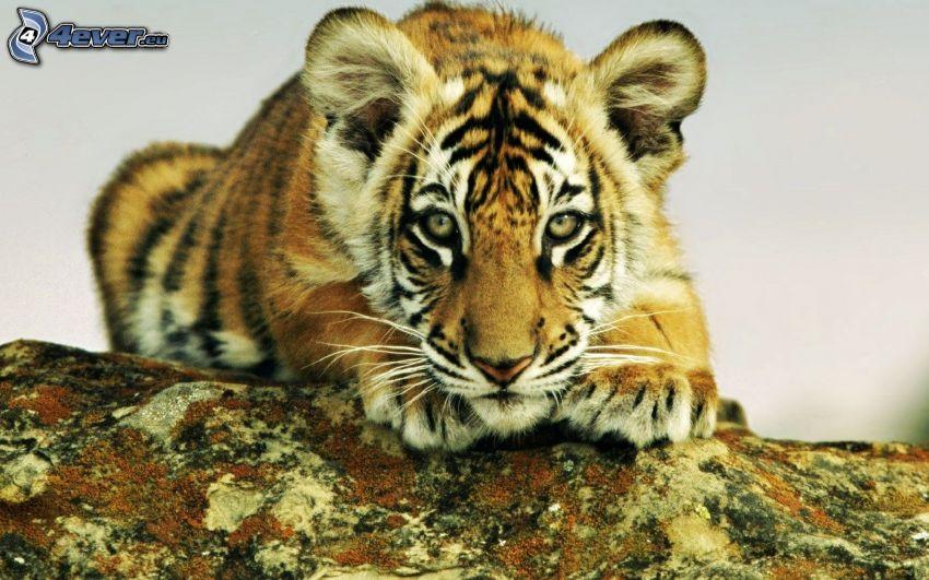 tigre, cachorro, roca