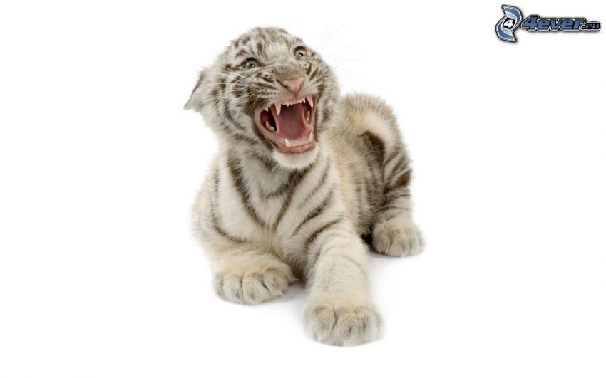 tigre, cachorro, rugido