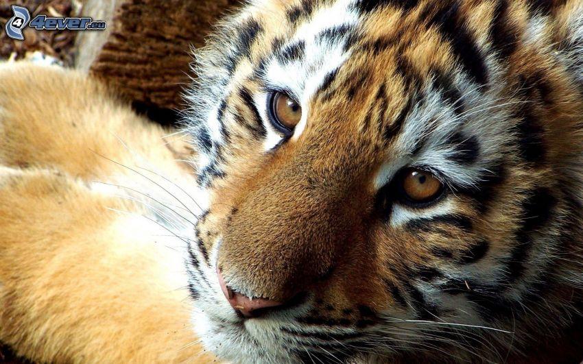 tigre, cachorro