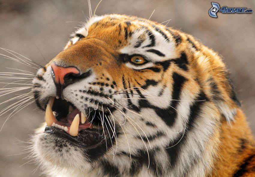 tigre, colmillos
