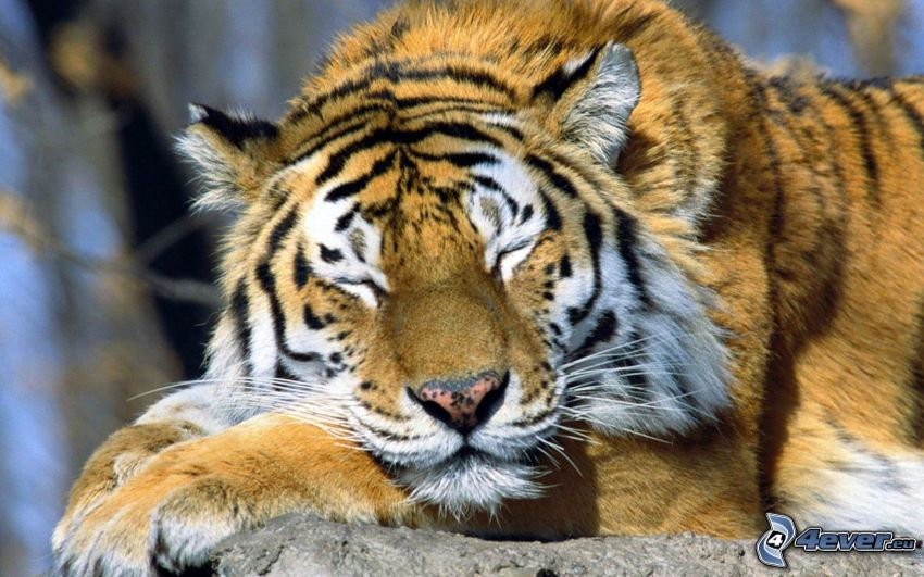 tigre, dormir