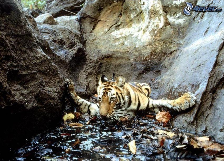 tigre, estrecho, agua, rocas