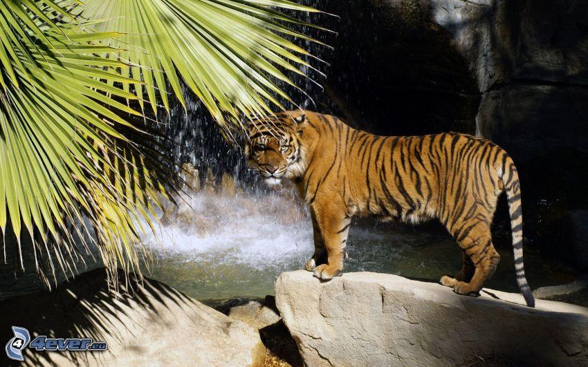 tigre, hojas, cascada