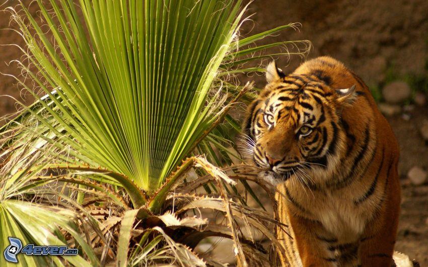 tigre, hojas